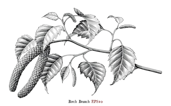 birch branch botanical hand drawing vintage style black and white, isolated.