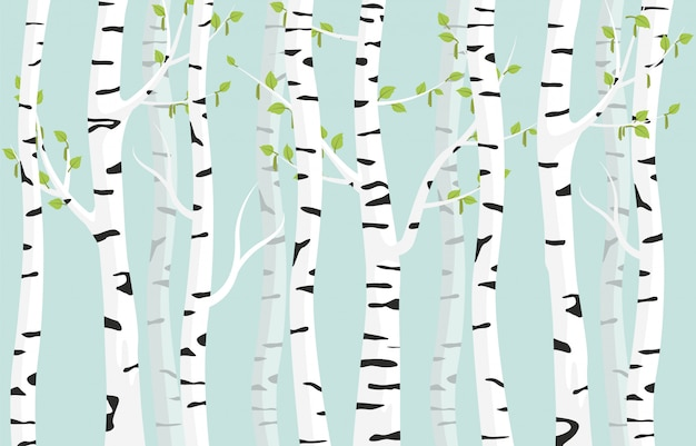 Birch forest background. spring birch green young leaves spotty bark on tree.