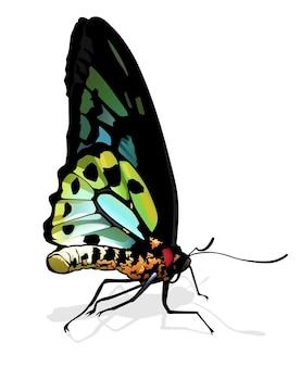 Бабочка birdwing ornithoptera richmondia