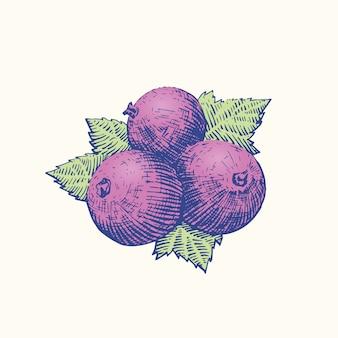 Рисунок эскиза черной смородины. гравюра в стиле ретро ягоды и листья иллюстрации. .