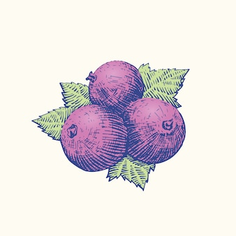 Black currant  sketch drawing. engraving style retro berries and leaves illustration. .