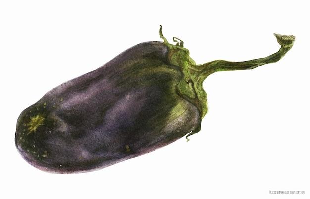 Черный баклажан, ботаническое реалистичное акварельное искусство