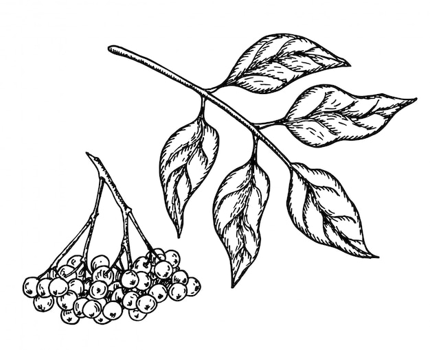 Black elderberry  sketch. hand drawn botanical branch with berries and leaves.