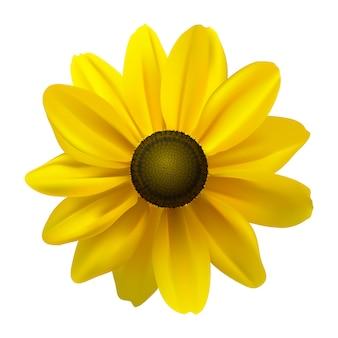 白地に黒い目をしたスーザン(ルドベキアヒルタ)の花。図