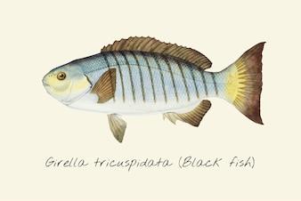 Black Fish drawing