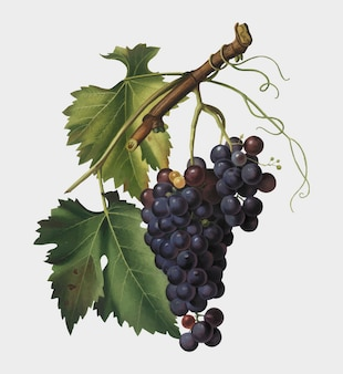 Black grape from pomona italiana illustration