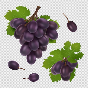 黒ブドウのイラスト。透明なブドウ、葉、果実のリアルな画像の束