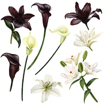 Black and white lilies and callas, watercolor hand drawn  illustration