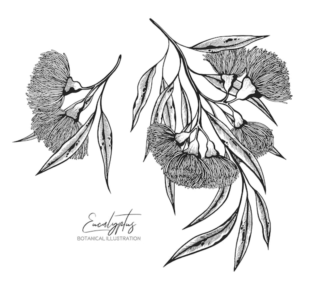 Black and white vector sketch illustration of eucalyptus design elements for wedding invitations greeting cards wrapping paper cosmetics packaging labels tags quotes blogs posters