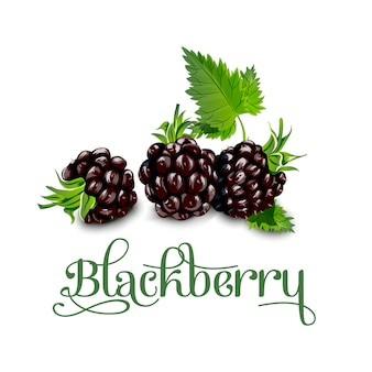 Blackberries. vector illustration.