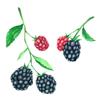 Blackberry hand paint in watercolour collection