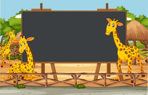 Blackboard template design with cute giraffes in the zoo