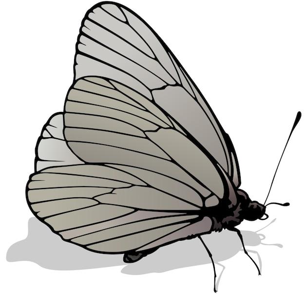 Белая бабочка с черными прожилками aporia crataegi