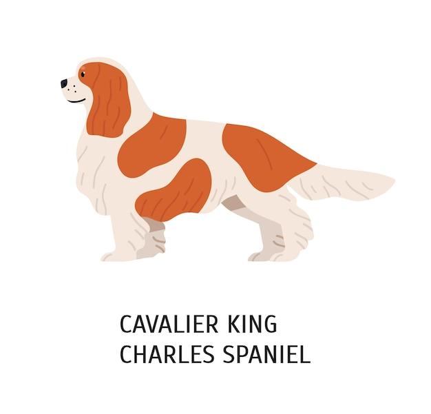 블레 넘 카발리어 킹 찰스 스파니엘. 귀여운 사랑스러운 작은 무릎 개 흰색 배경에 고립.