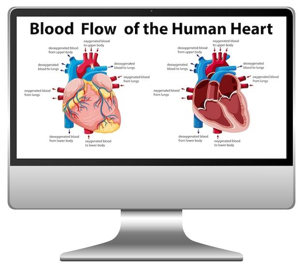 Diagramma del flusso sanguigno del cuore umano sullo schermo del computer
