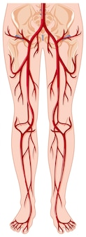 Blood vessels in human body