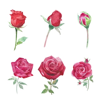 Bloom flower element red rose watercolor on white for decorative use.