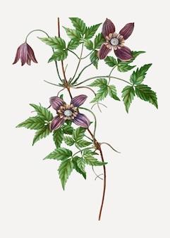 Blooming alpine clematis flowers