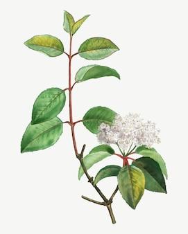 Blooming blackhaw tree