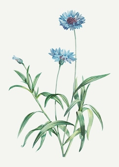 Blooming blue cornflowers
