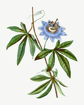 Blooming blue passionflower