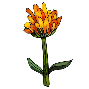 Blooming calendula on an isolated white background the contour is drawn by hand