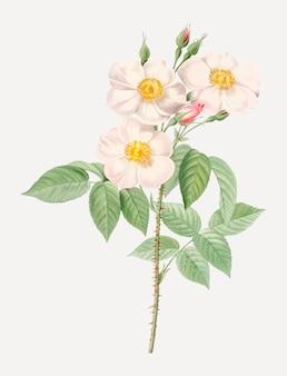 Blooming damask roses