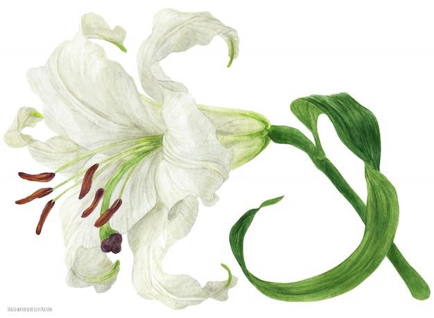 Цветущая ветка восточной лилии прорисована акварелью