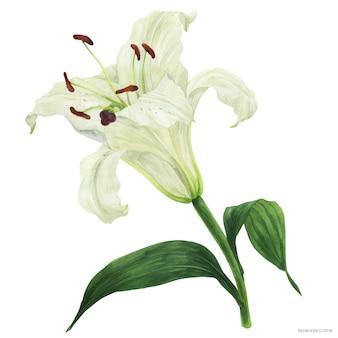 Цветущий цветок восточной лилии прорисован акварелью