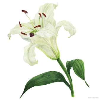 Blooming flower of oriental lily traced watercolor