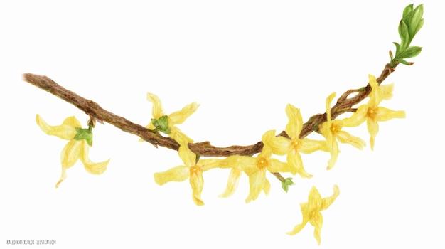Цветущая ветка форзиции, прослеженная акварельная ботаническая иллюстрация