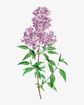 Blooming persian lilac