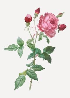 Blooming pink cabbage rose