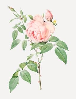 피는 핑크 장미