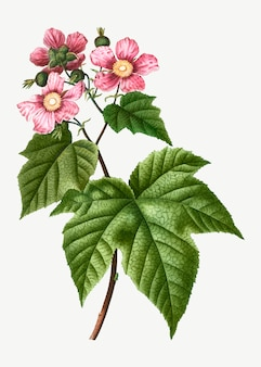 Blooming raspberry bush