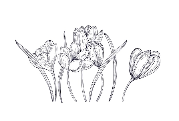 Blooming spring crocus flowers on white. gorgeous seasonal garden flowering plant. floral design element. contour realistic hand drawn illustration in vintage style.