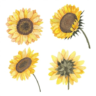 Blooming sunflower collection of watercolor illustration