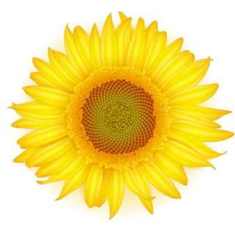 Blooming sunflower in realistic style on white background.