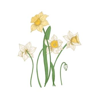 Цветущие нежные цветы нарцисса, изолированные на белом фоне