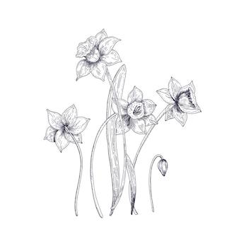 Цветущие нежные цветы нарцисса на белом. красивое декоративно-цветущее растение.