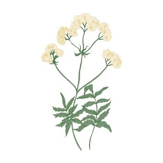 피 발레리안 꽃 흰색 배경에 고립입니다. 진정제 또는 불안 완화제로 사용되는 야생 다년생 꽃 식물이나 야생화의 우아한 그림. 다채로운 자연 손으로 그린 벡터 일러스트 레이 션.