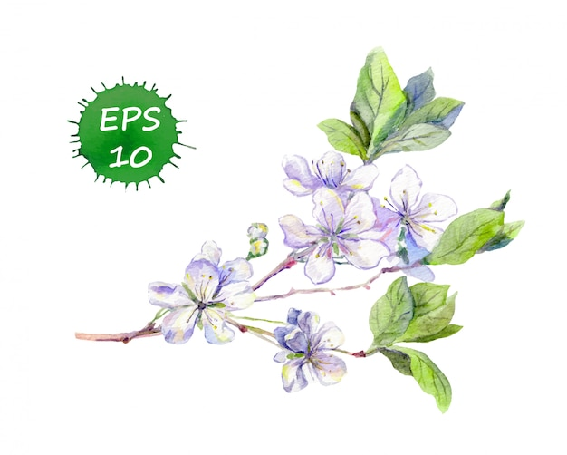 Blooming white cherry flowers japanese sakura. watercolour vector