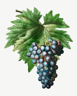 Blue grape cluster