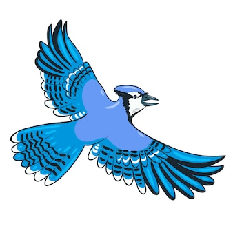 Blue jay flies isolate on a white background.