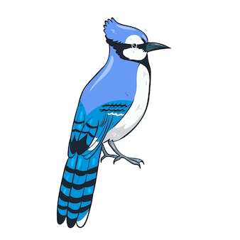 Blue jay sitting isolate on a white background.