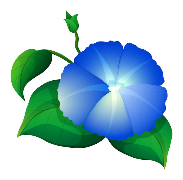 Blue morning glory flower with green leaves