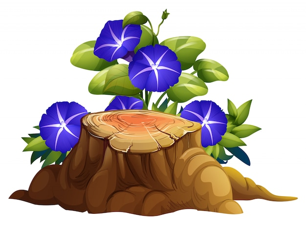 Blue morning glory flowers and stump on white background
