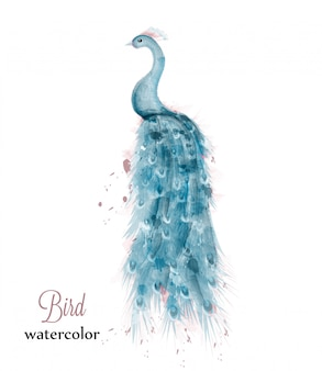 Blue peacock watercolor
