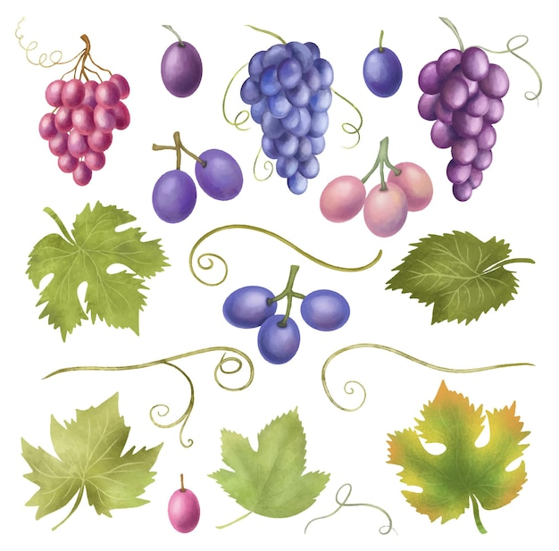 Blue and purple grapes and grape leaves clipart hand drawn isolated illustration