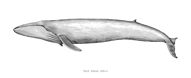 Blue whale hand draw illustration vintage engraving style black and white clip art on white